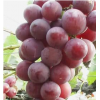 正宗马陆葡萄 大棚有机种植 巨峰葡萄