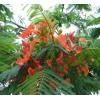 凤凰木种子 播种方法 林木种子