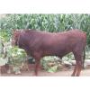 供应肉牛饲养方法 鲁西黄牛肉牛种牛效益育种