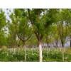 木本油料树种元宝枫