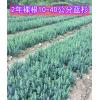供应2年生 10-40公分美国蓝杉树苗