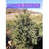 吉林青白扦云杉价格 供应1.5-2米青白扦云杉树