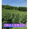 吉林青白扦云杉价格 供应2.5-3米青白扦云杉树